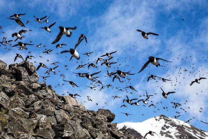 The bird cliffs of Alkefjellet are a birdwatcher's paradise on a Spitsbergen cruise.