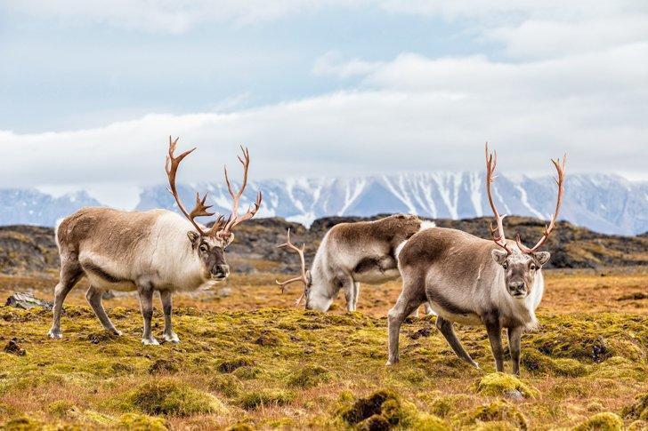 Wild reindeer in Svalbard, Norway.