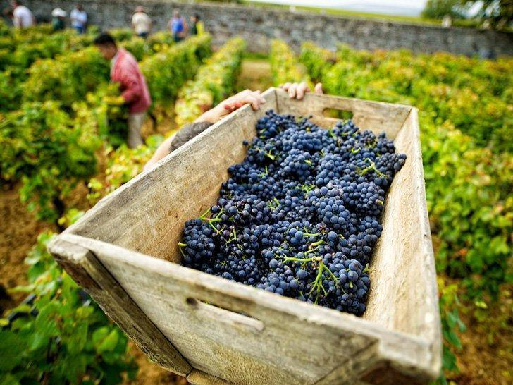 Harvest at Chateau de Pommard one of the best wineries in Burgundy, France