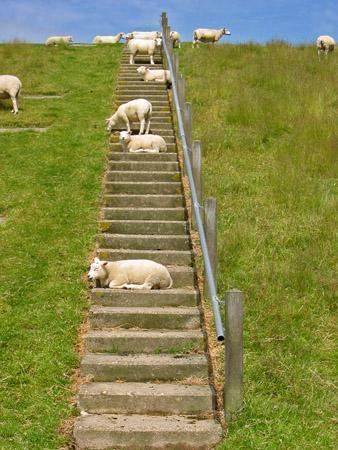 Sheep on Stairs